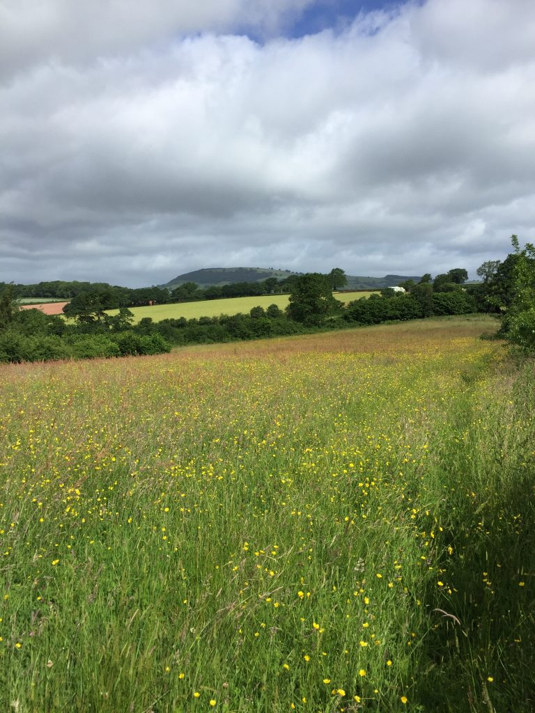 A florally rich meadow bordered by hedgerows